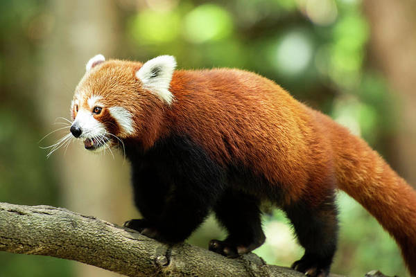 Photograph - Red Panda by Rob D Imagery