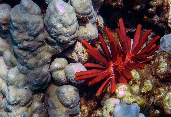 Photograph - Red Pencil Urchin by Anthony Jones