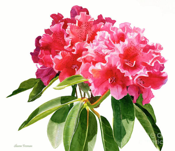 Wall Art - Painting - Red Rhododendron Blossoms by Sharon Freeman