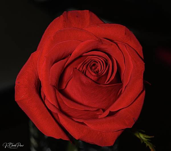 Photograph - Red Rose by David Pine