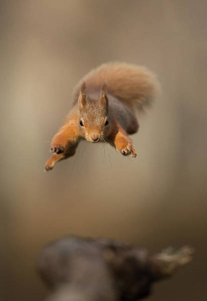 Wall Art - Photograph - Red Squirrel Jumping Towards Camera. Scotland, Uk by Paul Hobson / Naturepl.com