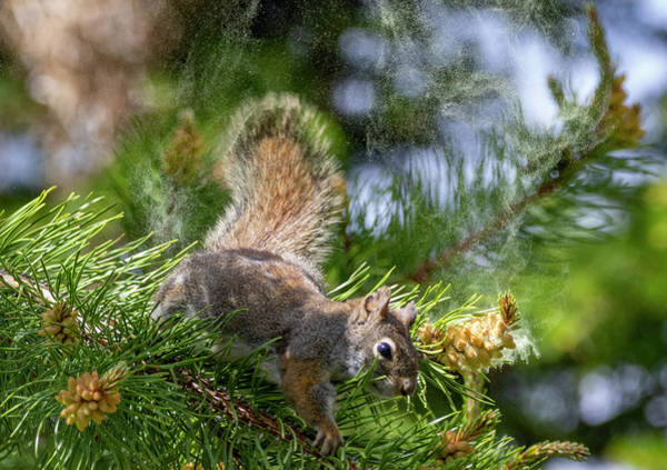 Photograph - Red Squirrel by Michael Chatt