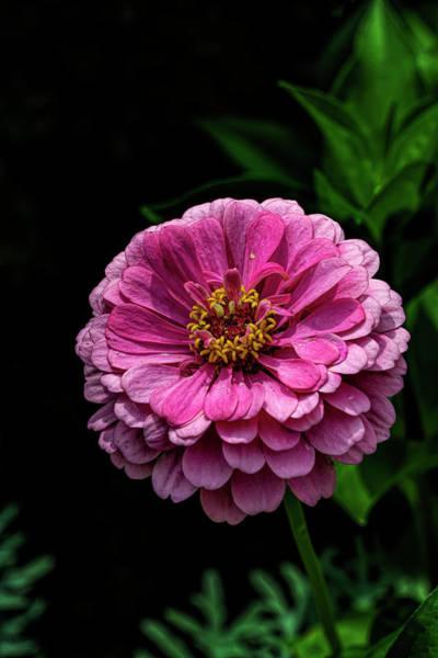 Photograph - Red Summer Flower by Robert Ullmann