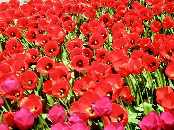 Photograph - Red Tulips by Stephanie Moore