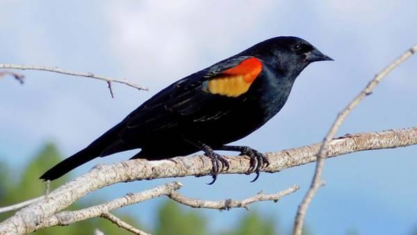 Photograph - Red-winged Blackbird 3 by Dan Miller
