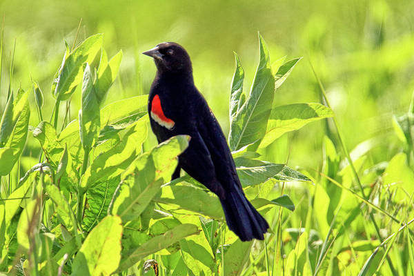Wall Art - Photograph - Red-winged Blackbird by Geraldine Scull
