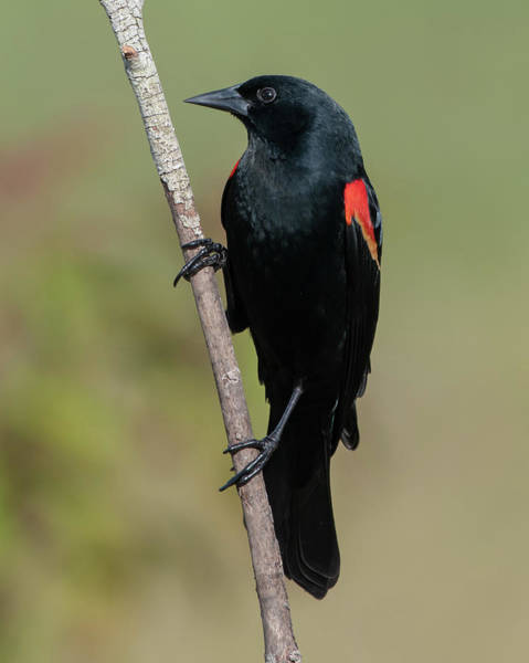 Photograph - Red-winged Blackbird by Ken Stampfer