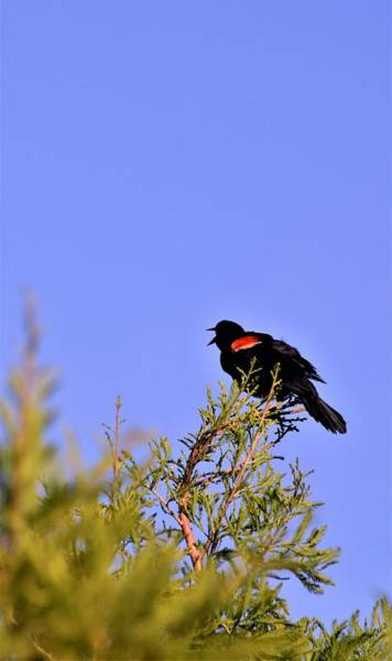 Wall Art - Photograph - Red-winged Blackbird by Warren Thompson