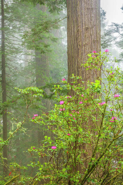 Wall Art - Photograph - Redwoods In The Mist by Andrew Soundarajan