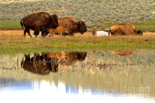 Wall Art - Photograph - Reflections Of The Yellowstone Bison Herd by Adam Jewell