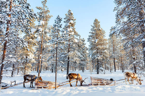 Reindeer Wall Art - Photograph - Reindeer In A Winter Forest In Finnish by Blueorange Studio