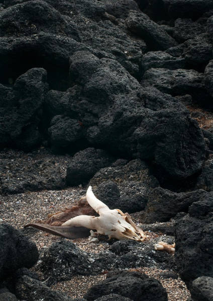 Photograph - Remains Of Feral Goat by Michael Lustbader