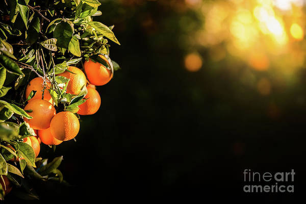 Photograph - Ripe Oranges Loaded With Vitamins Hung From The Orange Tree In A Plantation At Sunset With Sunbeams In The Background In Spring. by Joaquin Corbalan