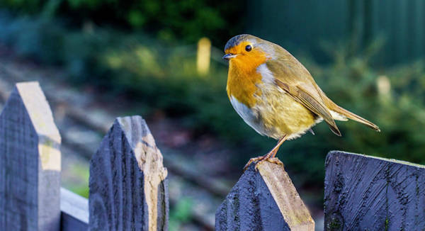 Twitcher Wall Art - Photograph - Robin.  by Angela Aird