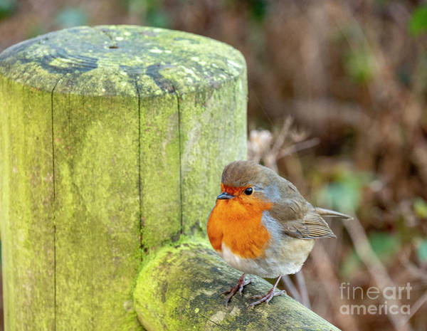Photograph - Robin On A Fence by Jim Orr