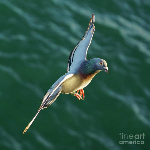 Photograph - Rock Pigeon Flying Over The Sea by Pablo Avanzini