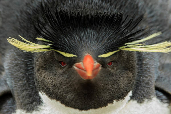 Wall Art - Photograph - Rockhopper Penguin, Falkland Islands by Adam Jones