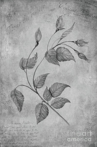 Wall Art - Painting - Rose by John Edwards