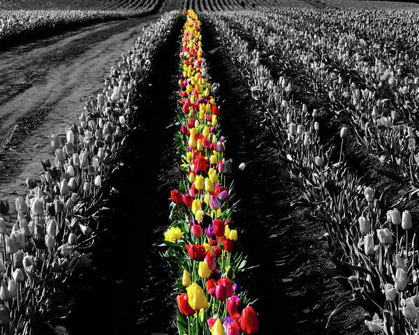 Wall Art - Photograph - Rows Of Tulips by Bonnie Bruno