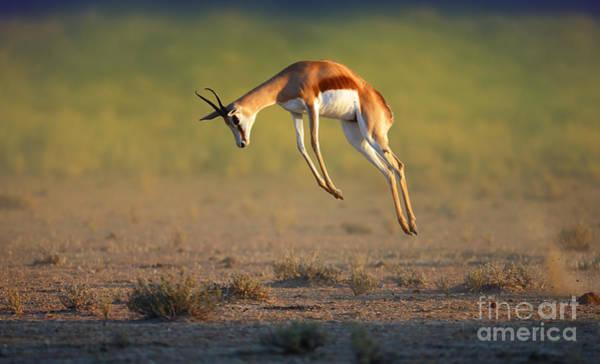 Wall Art - Photograph - Running Springbok Jumping High - by Johan Swanepoel