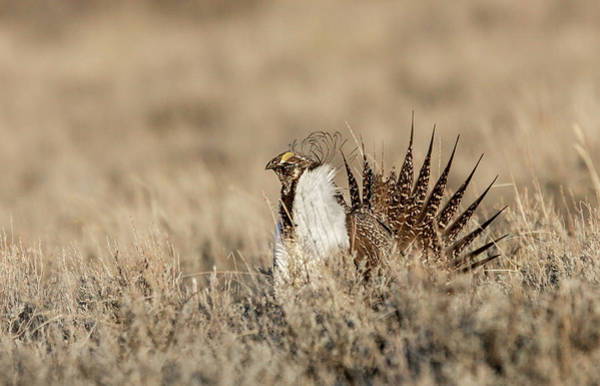 Photograph - Sage Grouse by Ronnie and Frances Howard