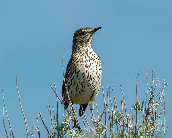 Wall Art - Photograph - Sage Thrasher by Mike Dawson