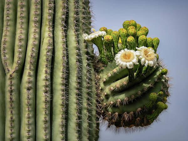 Wall Art - Photograph - Saguaro Blooms To The Sky  by Saija Lehtonen