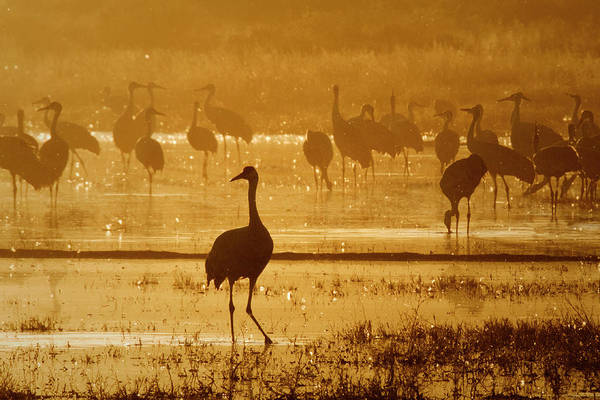 Photograph - Sandhill Crane Silhouette by Nicole Young