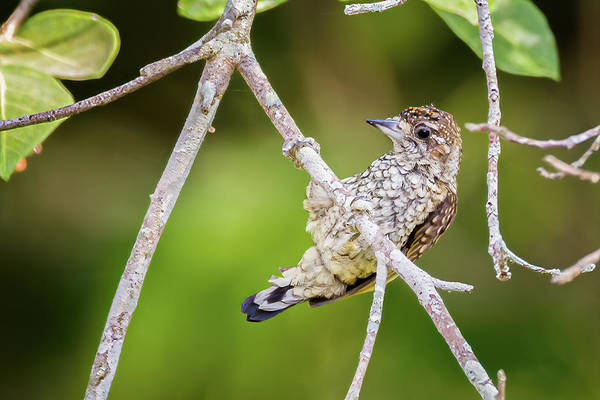 Photograph - Scaled Piculet La Palmita Casanare Colombia by Adam Rainoff