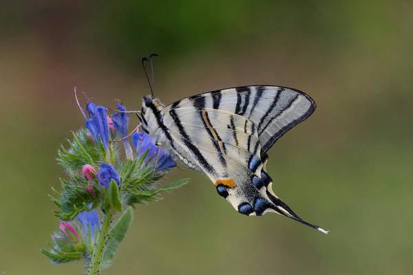 Wall Art - Photograph - Scarce Swallowtail by David Hosking