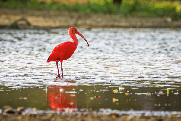 Photograph - Scarlet Ibis Hato Berlin Casanare Colombia by Adam Rainoff