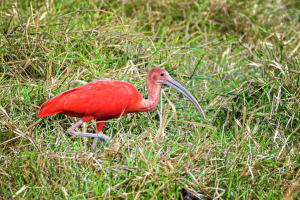 Photograph - Scarlet Ibis La Palmita Casanare Colombia by Adam Rainoff