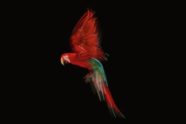 Motion Photograph - Scarlet Macaw Parrot In Flight by Tim Platt