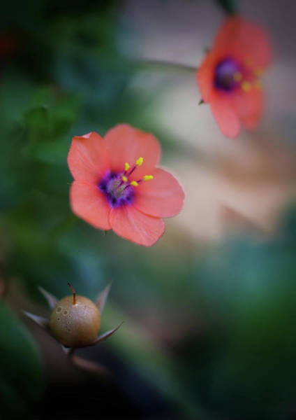 Photograph - Scarlet Pimpernel by John Rodrigues