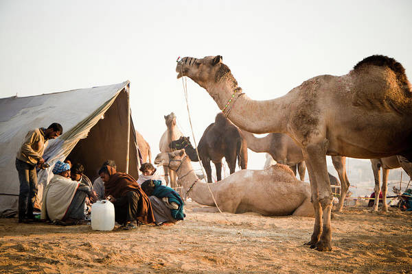 4e27e8a284 Indian Camel Wall Art - Photograph - Scene At Pushkar Camel Fair, Pushkar  by Exotica