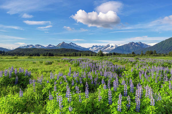 Wall Art - Photograph - Scenic View Of Nootka Lupine  Lupinus by John Hyde