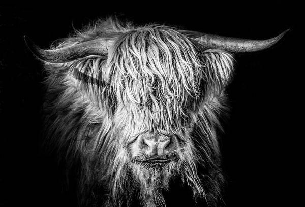 Farm Animals Photograph - Scottish Highland Cattle by Robert Hayton