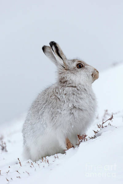Photograph - Scottish Mountain Hare by Arterra Picture Library