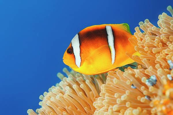 Underwater Diving Photograph - Sea Life - Anemone  Clownfish by Ultramarinfoto