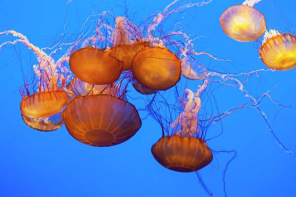 Monterey Bay Aquarium Photograph - Sea Nettles, Pacific Ocean by Stuart Westmorland
