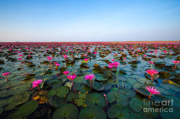 Pink Lotus Flower Photograph - Sea Of Red Lotus , Marsh Red Lotus by Mspt