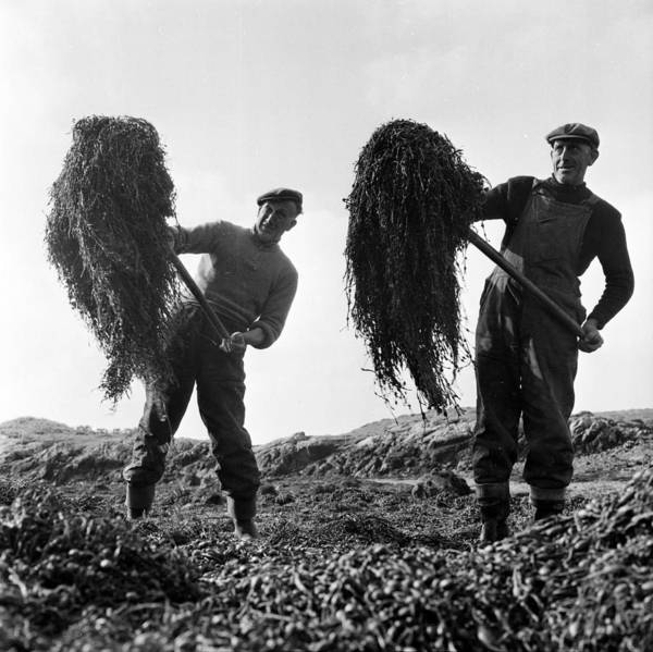 Seaweed Photograph - Seaweed Harvest by Thurston Hopkins