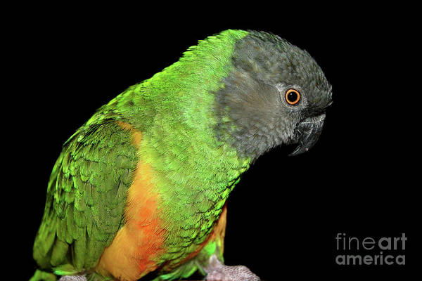 Photograph - Senegal Parrot by Debbie Stahre