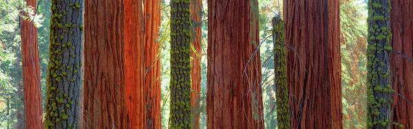 Sequoia Grove Photograph - Sequoia Grove Sequoia National Park by Panoramic Images