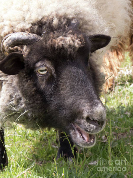 Photograph - Sheep Face 3 by Christy Garavetto