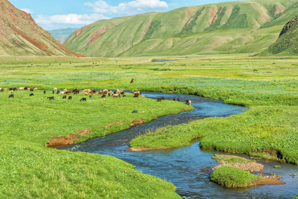Wall Art - Photograph - Sheep Herd Grazing Along A Mountain River Naryn Gorge Naryn Region Kyrgyzstan by imageBROKER - GTW