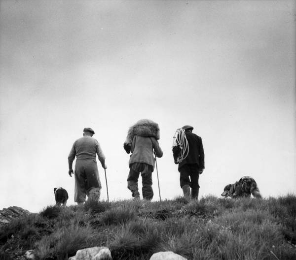 Photograph - Sheep Rescue by Bert Hardy