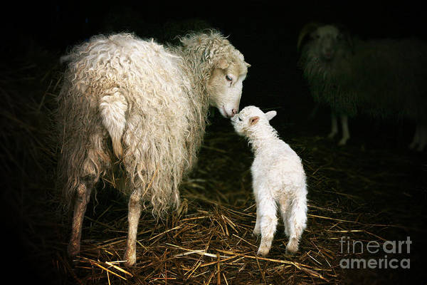 Sheep With A Lamb Standing In The Art Print