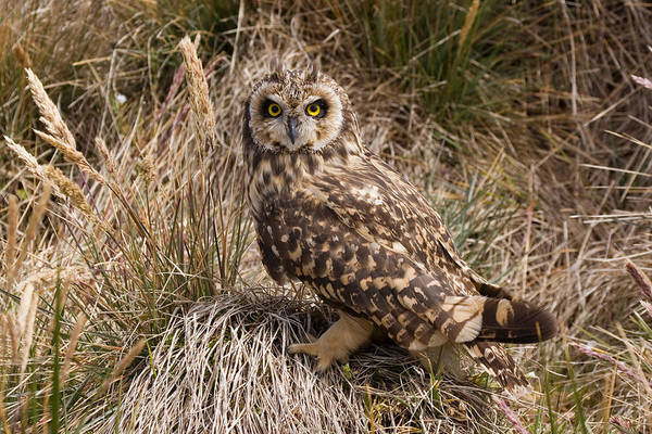 Wall Art - Photograph - Short-eared Owl by David Hosking