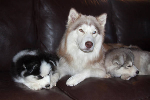 Wall Art - Photograph - Siberian Husky Mother And Puppies by Zandria Muench Beraldo